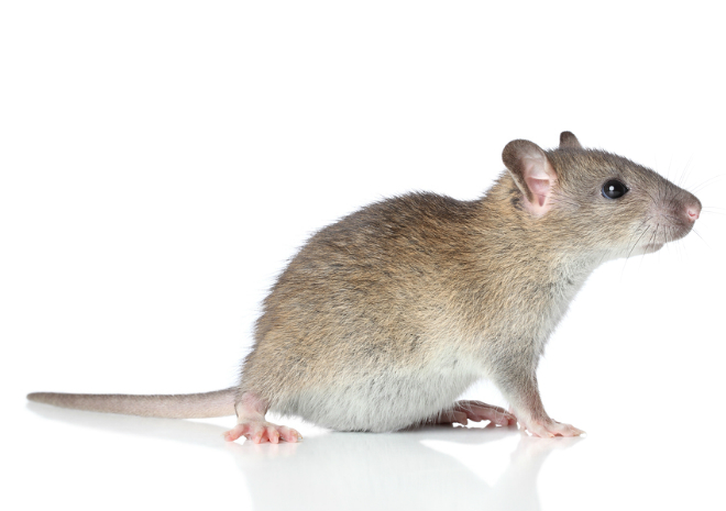 Brown Rat on white (Rattus norvegicus)