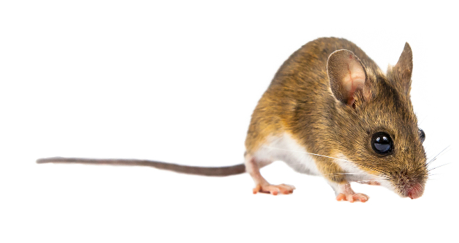 How To Get Rid Of Mice In The House Get Rid Of Rats Mice