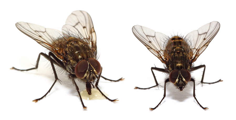 Common House flies