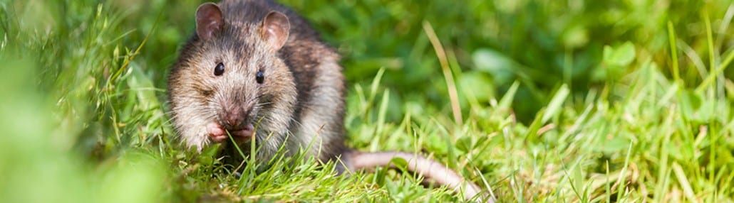 field mouse