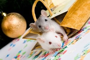 Image of two mice looking at camera in gift package